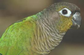 picture of my green cheek conure Jade head and shoulders